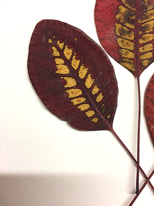 Cotinus leaves in autumn